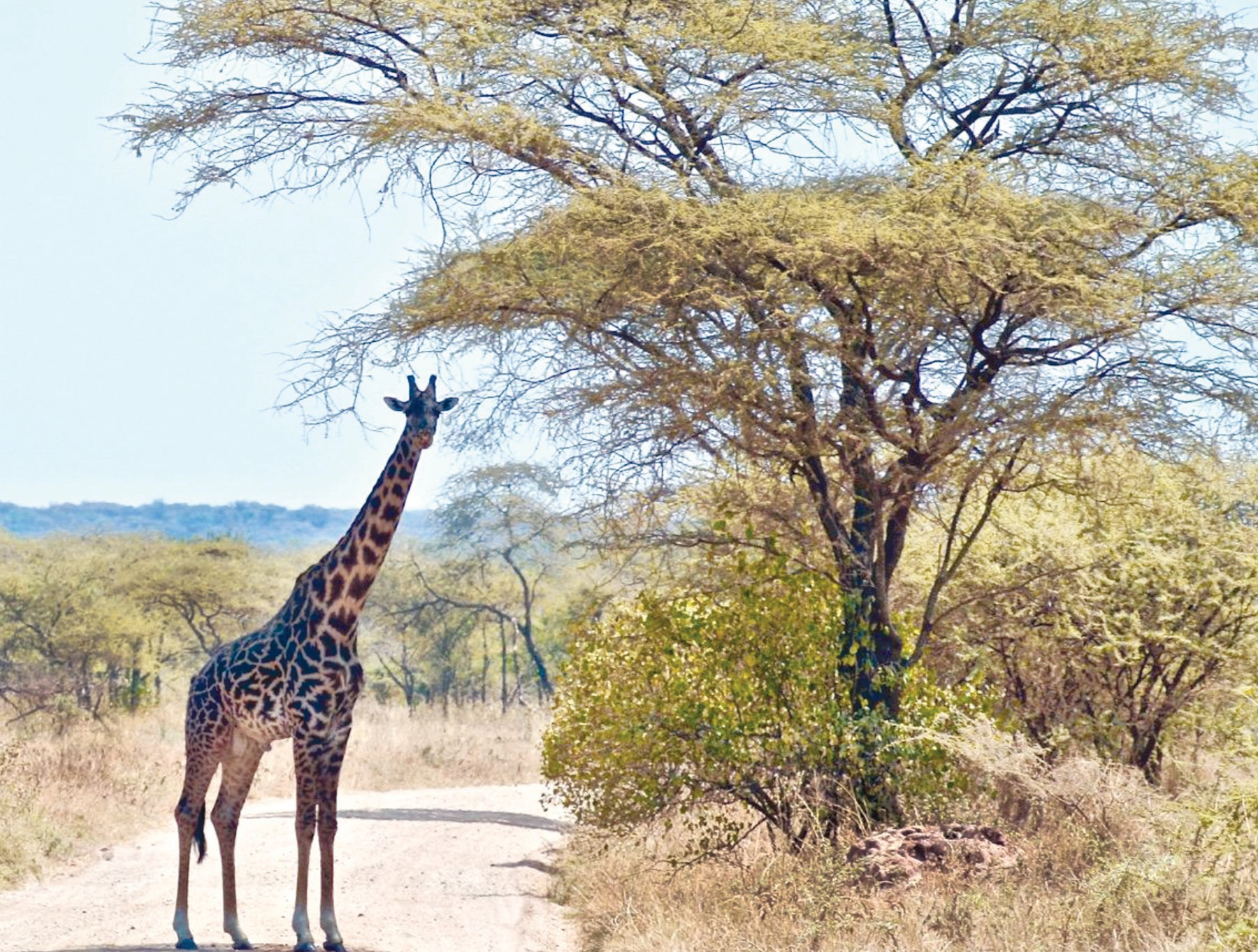 HEIGHTENED ALERT—This is the giraffe that attacked the Menteer couple during a trip to Africa in 2015. Courtesy of David Menteer