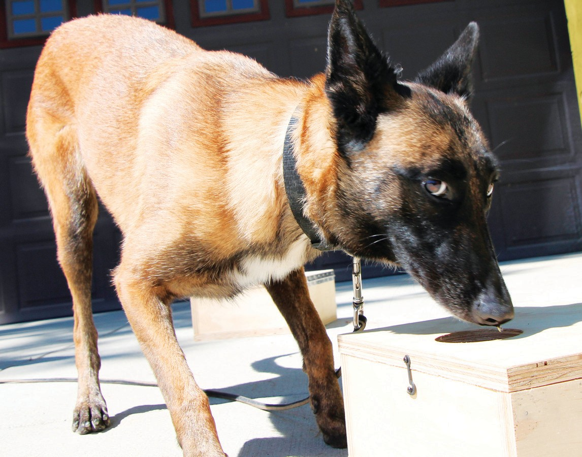 POOCH PATROL— Pita, the 4-year-old Belgian Malinois, uses her inate skills to sniff out drugs. Her new boss is Amy Doerner, an Agoura Hills private investigator who aims to help parents in the war on drugs.
