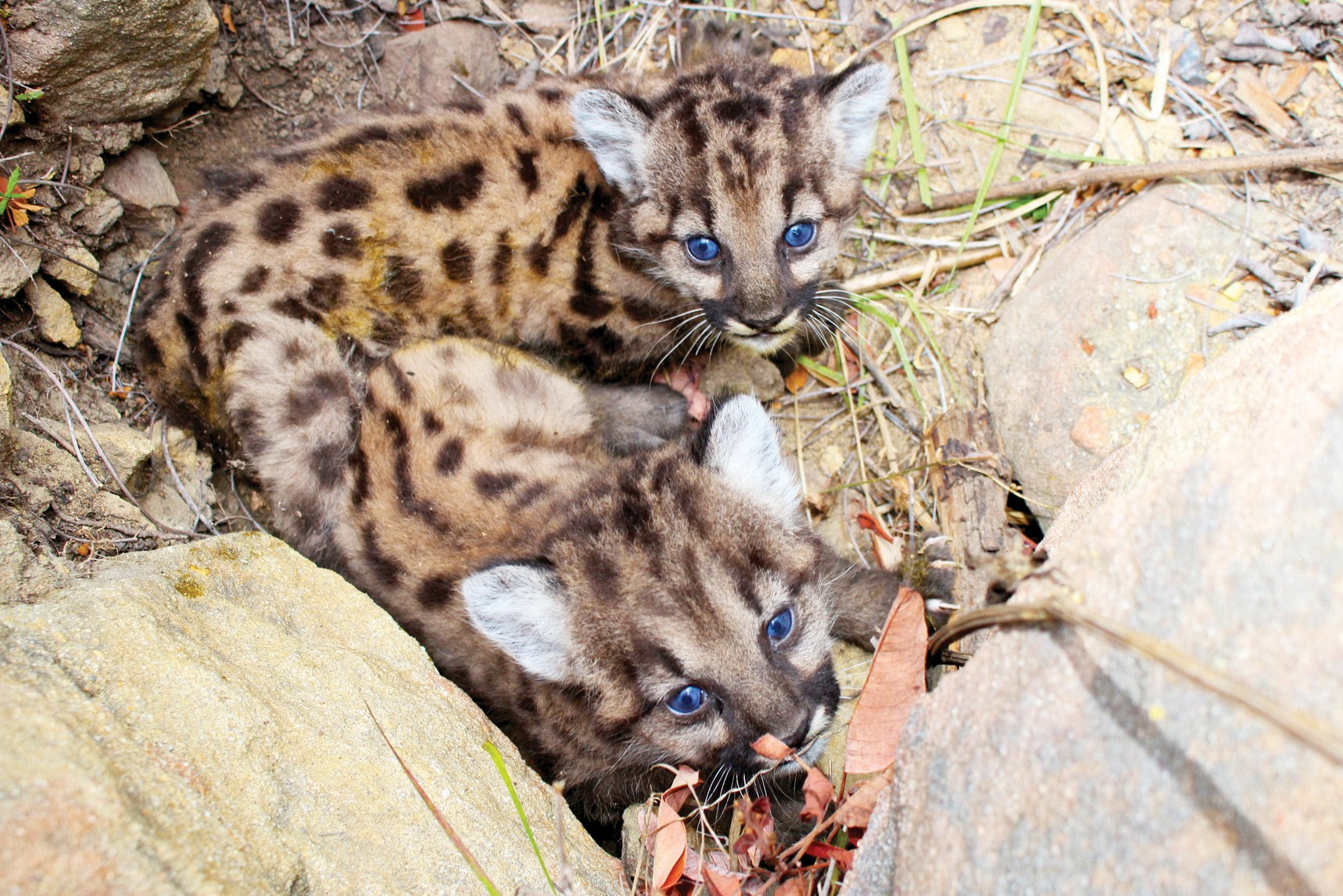 SIBLINGS—P-59 and P-60 are the 13th litter of kittens marked by National Park Service biologists at a den site. At left, the suspected father, P-12, on the prowl in this park service photo from 2011. Courtesy of National Park Service