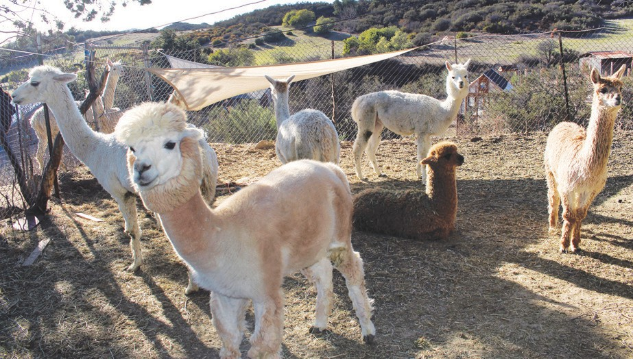 INDEFENSIBLE?—Vaughn-Perling lost a dozen alpacas in a 2016 cougar attack at her ranch here in the Santa Monica Mountains. Acornfile photo