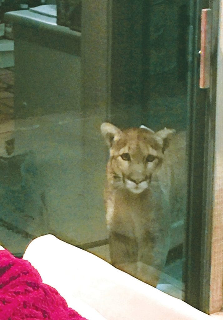 CAT BURGLAR—The cougar tries to break through a sliding-glass door at Nadine Young's home near Three Springs in Westlake Village. Young took the photo with her phone while her 8-year-old son looked on, horrified.