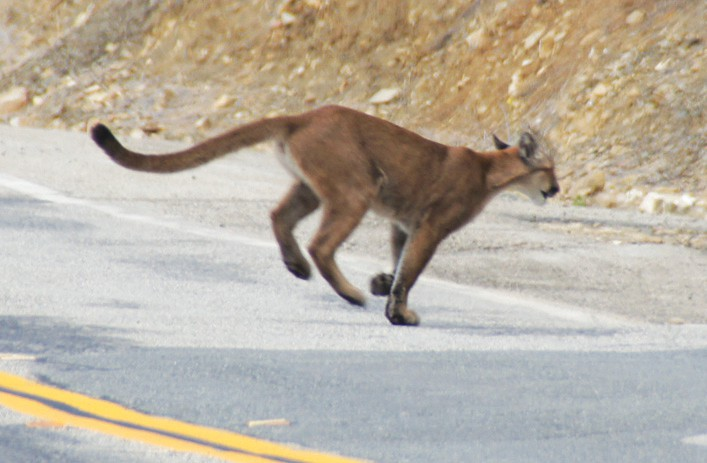 FINAL DAYS—P-23 is seen by a park service trail camera as it crosses a mountain road. She was killed on or near Malibu Canyon Road. Courtesy of National Park Service
