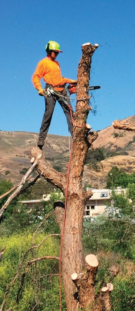 BRANCH OFFICE—A worker removes one of 250 invasive pepper trees along Las Virgenes Creek to make room for new native tree saplings, all part of an ongoing creek restoration project. Courtesy City of Calabasas