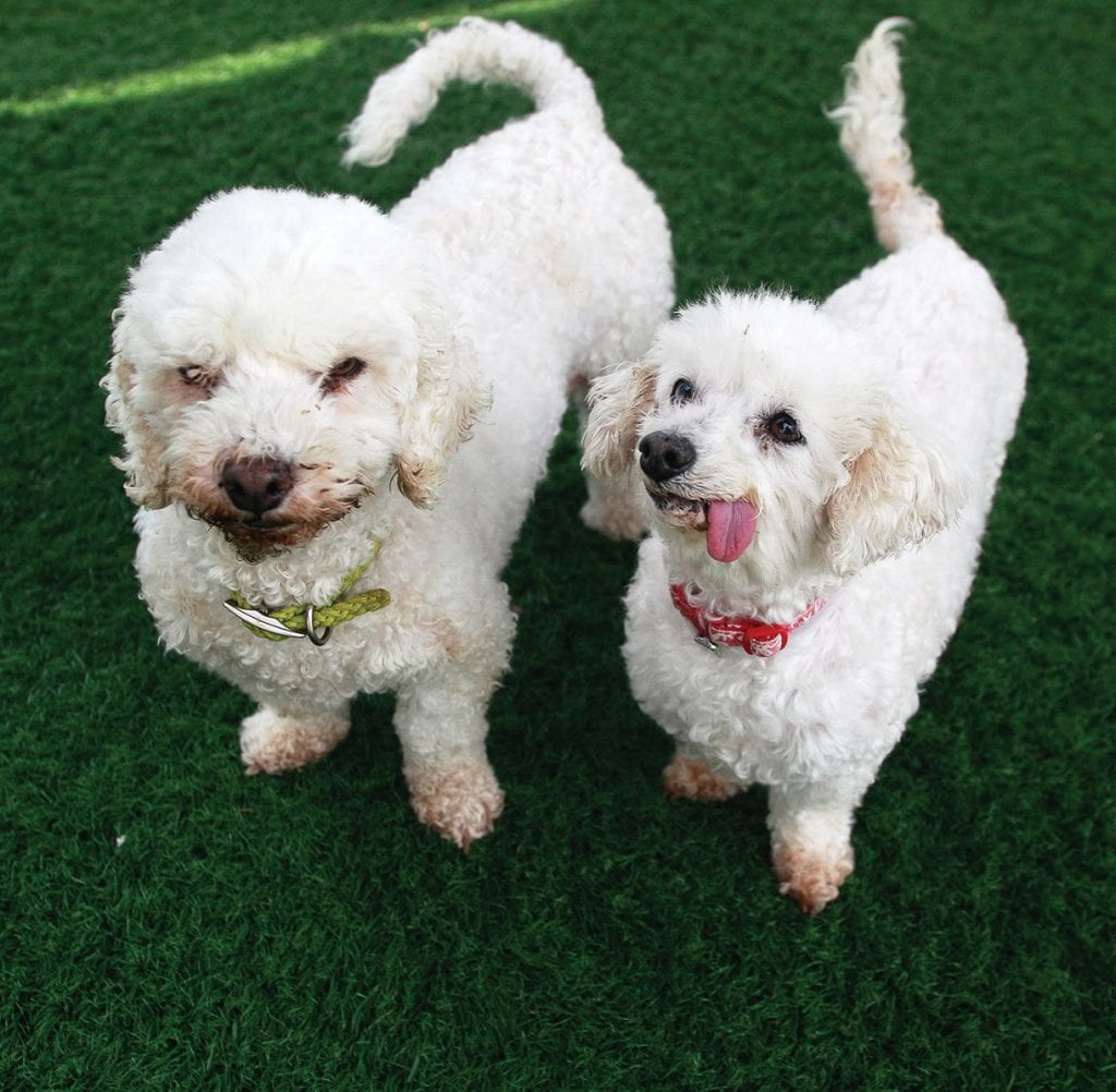 BEST BUDDIES—Babbette and Neicy are female white and white miniature poodles about 10 years old. They are a sweet pair and are bonded so they must be adopted together. If you would like to adopt Babbette and Neicy ask for ID No. A5161262 and A5161263 at the Agoura Hills Animal Shelter, 29525 Agoura Road. Occasionally pets have already been adopted, so check http://animalcare.lacounty.gov before visiting the shelter. RICHARD GILLARD/Acorn Newspapers