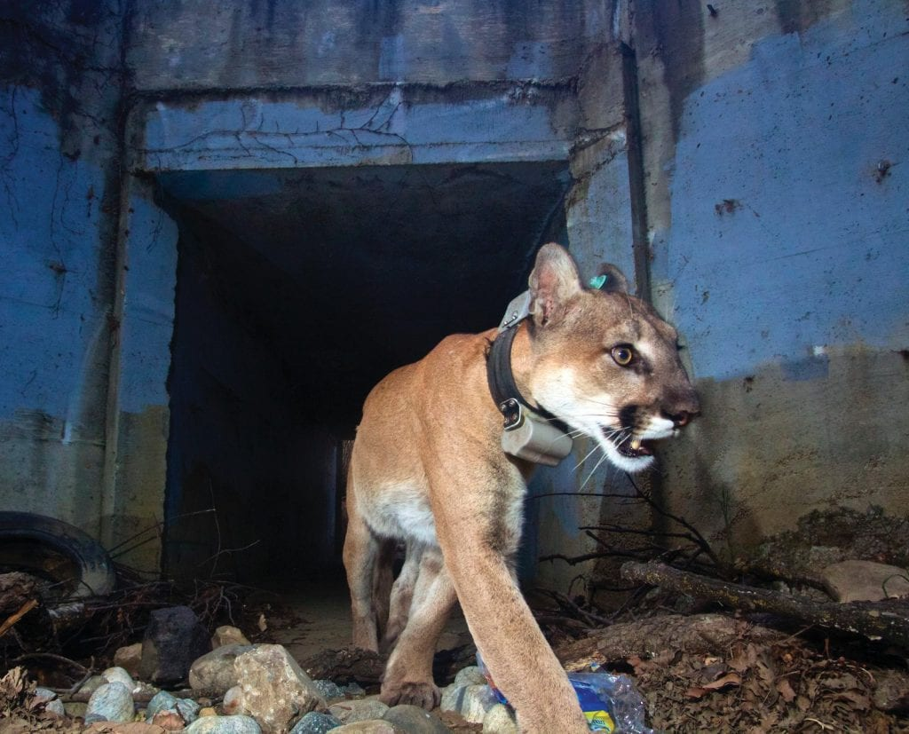 OUT THE OTHER SIDE—P-64, nicknamed the Culvert Cat, crosses under a local roadway. The National Park Service keeps location confidential to protect both the lions and the NPS photo equipment. Courtesy of National Park Service