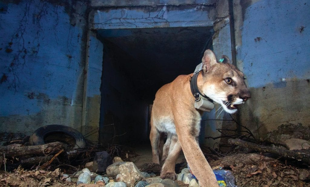 CULVERT COUGAR—Mountain lion P-64, nicknamed Culvert Cat, crosses under the 101 Freeway at Liberty Canyon without the use of a wildlife bridge. Tracking collars are a big help in making this type of information available to researchers. Courtesy of National Park Service