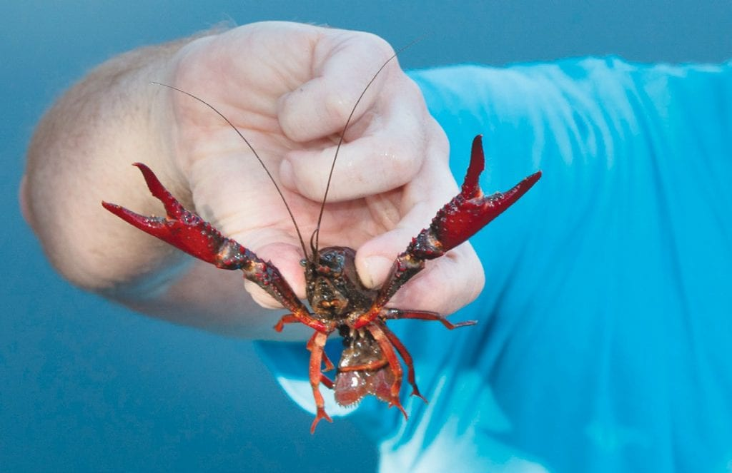 PINCERS MOVEMENT—Dragonflies help humans by eating diseaseladen mosquitoes. But the red swamp crayfish, above, eats the dragonfly, which helps puts the mosquito back in business. Acornfile photo