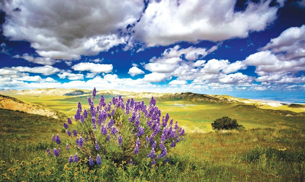 DAZZLING—A solitary Giant Lupine stands over the southern end of California's Carizzo Plain National Monument. Photographers are invited to submit their nature pix for a competition. Courtesy of Dan Holmes Photos