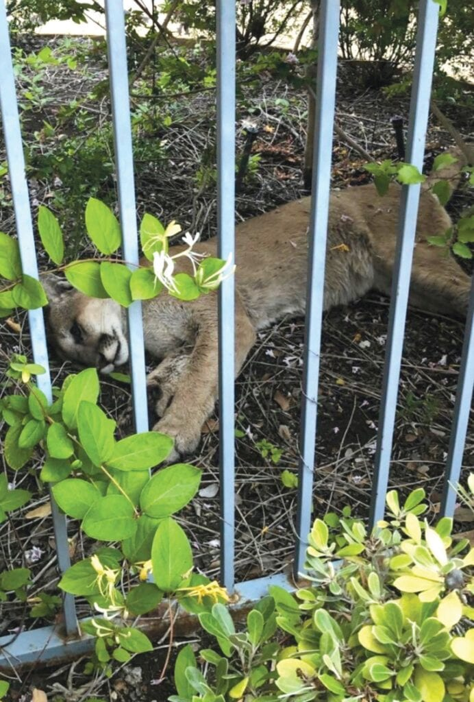 DOA—A Newbury Park resident found the body of a mountain lion next to a fence in his yard. The carcass is being examined for cause of death. Courtesy photo